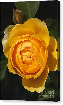 Canvas Print - Golden And Rich Beautiful Rose by Joy Watson