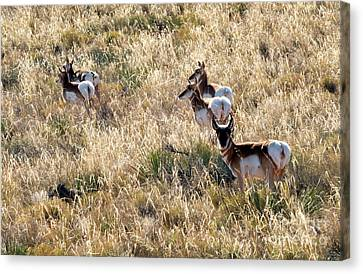 Golden Antelope Herd Canvas Print by Mike Dawson