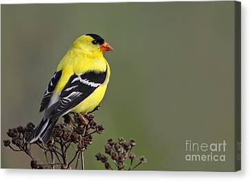 Golden Bird Canvas Print by Mircea Costina Photography