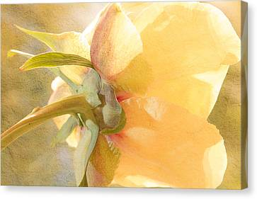 Golden Bowl Tree Peony Bloom - Back Canvas Print