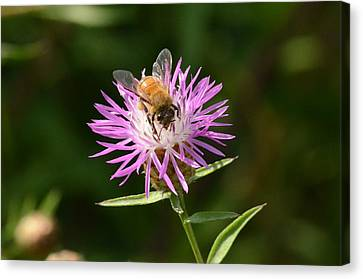 Golden Boy-bee At Work Canvas Print by David Porteus