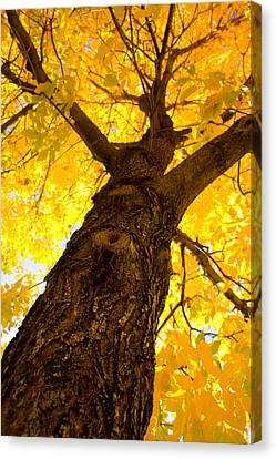 Golden Climb Canvas Print by James BO  Insogna