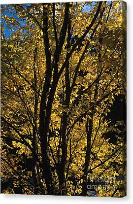 Golden Colors Of Autumn In New England  Canvas Print by Erin Paul Donovan