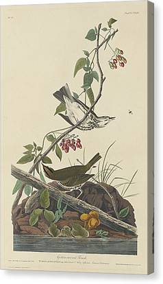 Wren Canvas Print - Golden-crowned Thrush by Dreyer Wildlife Print Collections