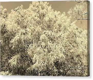 Golden Cypress - Sepia Canvas Print