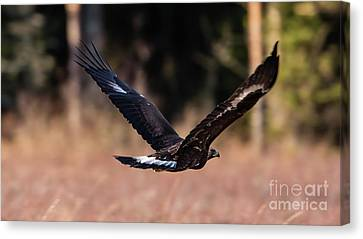 Canvas Print featuring the photograph Golden Eagle Flying by Torbjorn Swenelius