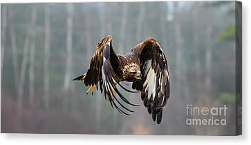 Golden Eagle - Juvenile Canvas Print