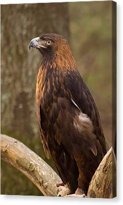 Canvas Print featuring the photograph Golden Eagle Resting On A Branch by Chris Flees