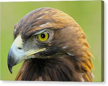 Golden Eagle Canvas Print by Shane Bechler