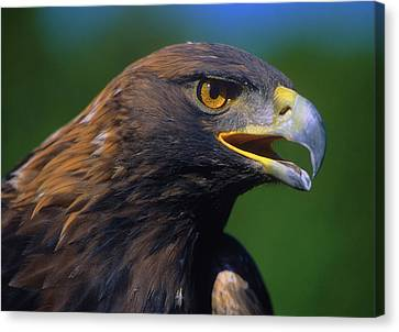 Golden Eagle Canvas Print by Tony Beck