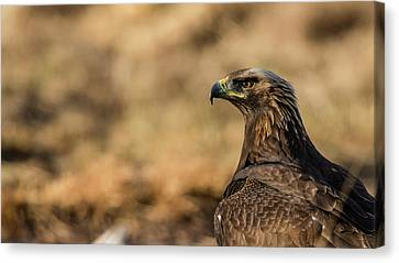 Golden Eagle Canvas Print by Torbjorn Swenelius
