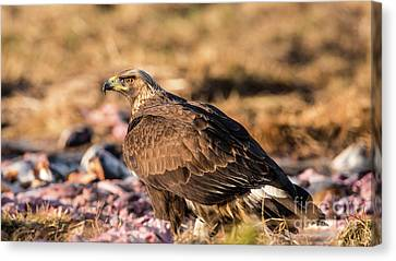 Golden Eagle's Back Canvas Print by Torbjorn Swenelius