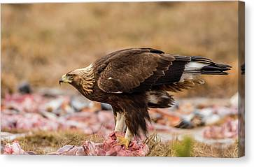Golden Eagle's Profile Canvas Print by Torbjorn Swenelius