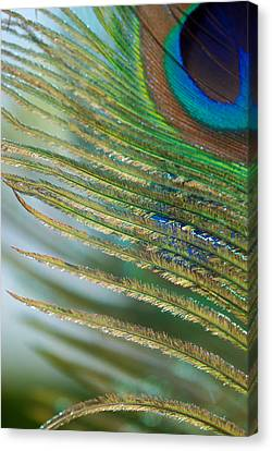 Golden Feather Canvas Print by Lisa Knechtel
