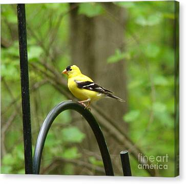 Canvas Print featuring the photograph Golden Finch by Rand Herron