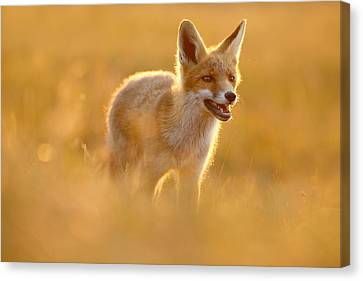 Golden Fox - Backlit Juvenile Red Fox On  A Summer Day Canvas Print