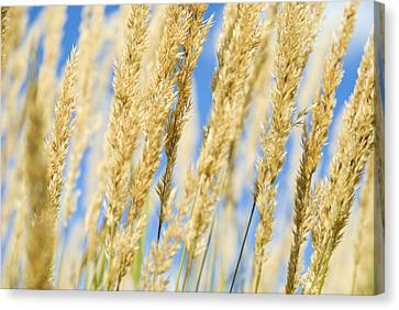Canvas Print featuring the photograph Golden Grains by Christi Kraft