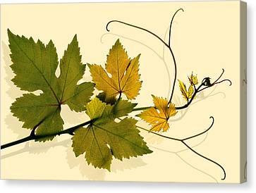 Golden Grape Vine Canvas Print by Marsha Tudor