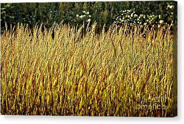 Golden Grasses Canvas Print by Meirion Matthias