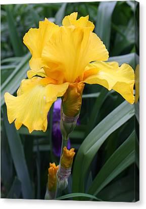 Golden Iris Canvas Print by Bruce Bley