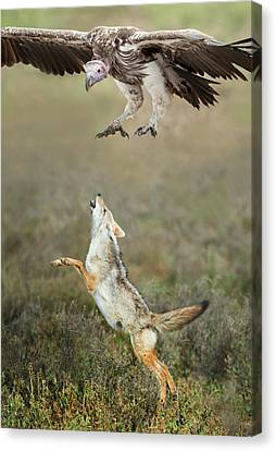 Golden Jackal, Canis Aureus, Leaping At Vulture Canvas Print by Panoramic Images