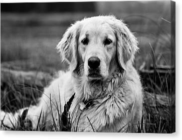 Golden Lab Canvas Print - Golden Lab by Cale Best