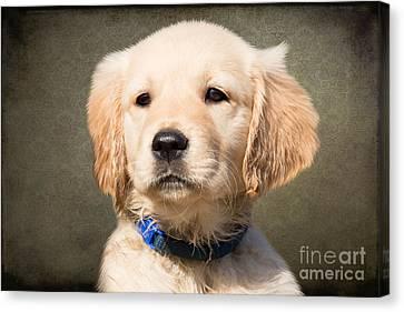 Golden Labrador Puppy Canvas Print by Nichola Denny