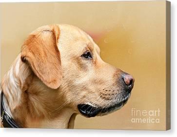 Golden Labrador Canvas Print by Nichola Denny