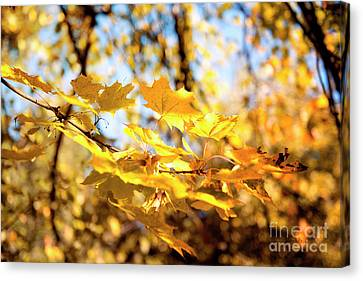 Canvas Print featuring the photograph Golden Leaves by Ivy Ho