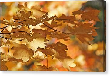 Golden Light Autumn Maple Leaves Canvas Print by Jennie Marie Schell