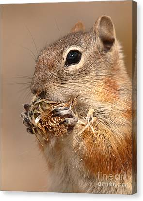 Golden-mantled Ground Squirrel Nibbling On A Bite Canvas Print by Max Allen