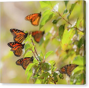 Golden Monarch Cluster Canvas Print by Janal Koenig