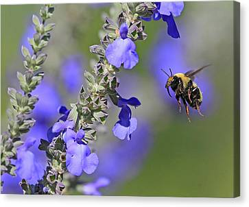 Canon 7d Canvas Print - Golden Northern Bumble by Donna Kennedy