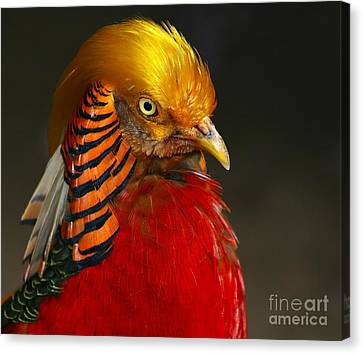 Canvas Print featuring the photograph Golden Ornamental Pheasant by Debbie Stahre