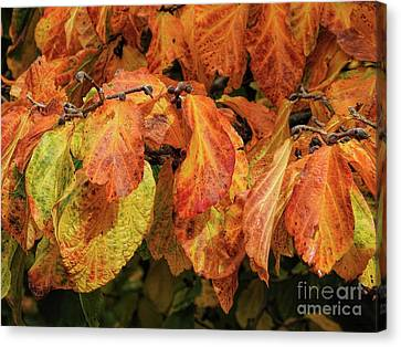 Canvas Print featuring the photograph Golden by Peggy Hughes