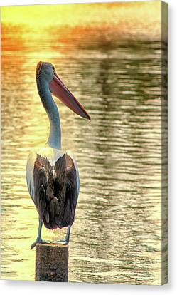 Golden Pelican Canvas Print