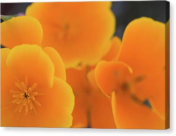 Canvas Print featuring the photograph Golden Poppies by Roger Mullenhour
