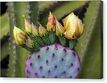 Canvas Print featuring the photograph Golden Prickly Pear Buds  by Saija Lehtonen