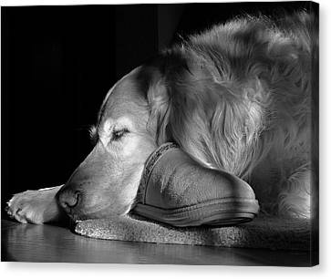 Golden Retriever Dog With Master's Slipper Black And White Canvas Print by Jennie Marie Schell