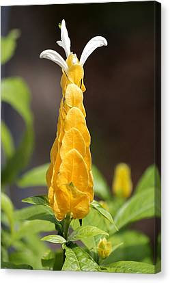 Canvas Print featuring the photograph Golden Shrimp Flower by Sheila Brown
