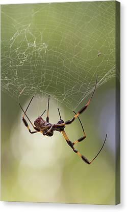 Golden-silk Spider Canvas Print