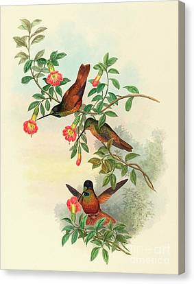 Golden Star Frontlet Canvas Print by John Gould