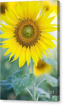 Sunflower Canvas Print - Golden Sunflower by Tim Gainey