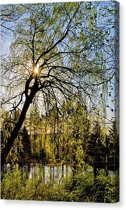 Golden Sunlight Through Green Tree Canvas Print by Christina Rollo