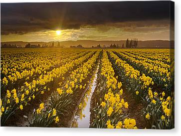 Tranquil Canvas Print - Golden Sunset Daffodil Fields Light by Mike Reid
