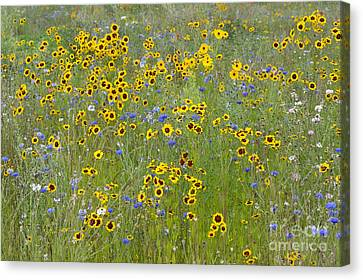 Golden Tickseed Meadow Canvas Print by Tim Gainey