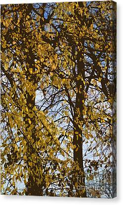 Golden Tree 2 Canvas Print by Carol Lynch