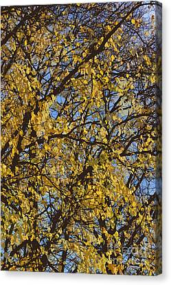 Golden Tree 3 Canvas Print by Carol Lynch