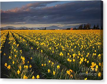Golden Under The Storm Canvas Print by Mike  Dawson