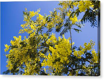 Canvas Print featuring the photograph Golden Wattle by Angela DeFrias